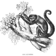 The Guariba