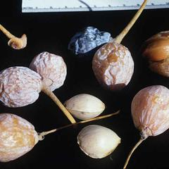 Mature ovules of Ginkgo