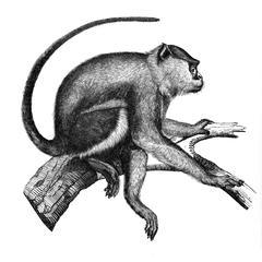 Guenon nisnas