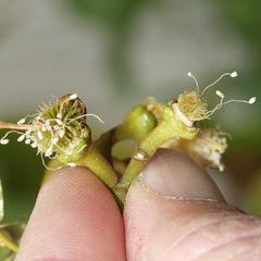 Young fruit of Bixa