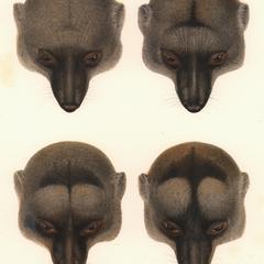 Lemur mongoz