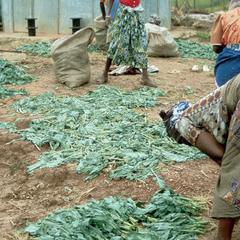 Market People Breaking Up a Sack of Rape, a Spinach-Like Leafy Vegetable