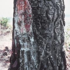 Pine scarred by pitch harvest, Jutiapa