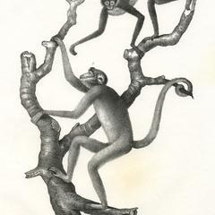 Atelidae Print