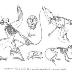 Skeleton of Squirrel-Monkey (1), of Mongoose Lemur (2), and of Slender Loris (3)