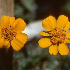 """""""Flor de muerte"""" (marigold, Tagetes), west of El Progreso"""