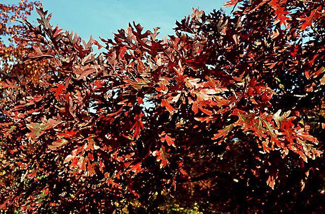 Fall foliage of white oak