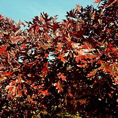 Fall foliage of white oak