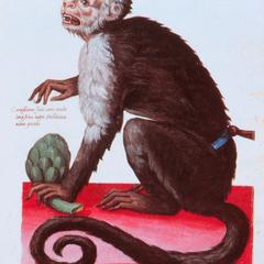 Captive Capuchin Print