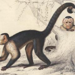 White-Fronted Capuchin Print