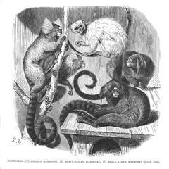 Marmosets--(1) Common Marmoset, (2) Black-Tailed Marmoset, (3) Black-Eared Marmoset (1/4 nat. size)
