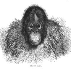 Head of Orang.