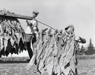 Hanging tobacco to dry
