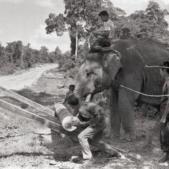 Elephant with log 3