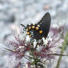 Papilio butterfly on Polanisia uniglandulosa