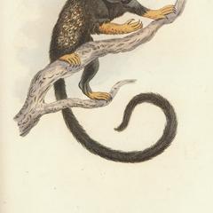Great Eared Monkey