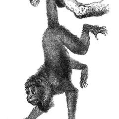 Hanging Spider Monkey Print