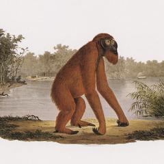 Walking Orangutan Print