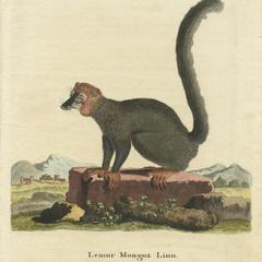 Lemur Mongoz Linn.