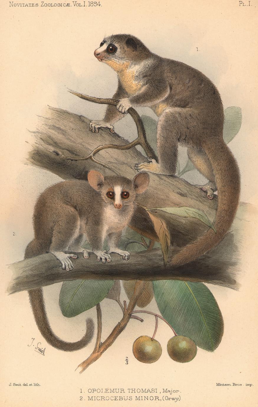 1. Opolemur thomasi, major; 2. Microcebus minor, (Gray.)