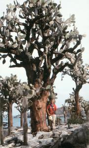 M. Kathryn Jones (Field Assistant) with Opuntia Tree (Opuntia echios) var. (barringtonensis)