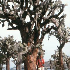 M. Kathryn Jones (Field Assistant) with Opuntia Tree (Opuntia echios) var. (barringtonensis)