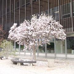 Magnolia x Soulangiana flowering tree by Social Sciences Building