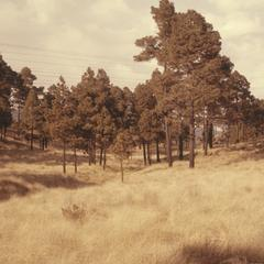 Tussock grasslands and pines, La Cima