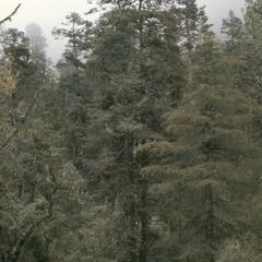 Cloud-forest with fir, cypress, and pine, below Captzin