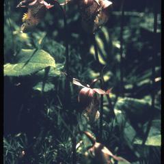 Calypso orchid in bloom