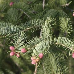 Branch with male cones of White spruce