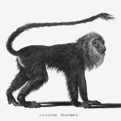 Leonine Monkey