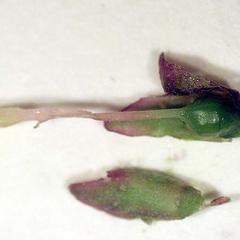 Pistil of Syringa vulgaris