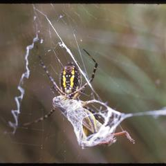Garden spider with grasshopper, Chiwaukee Prairie, State Natural Area