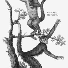 Horned Monkey and Four-Fingered Monkey