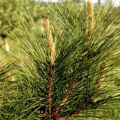 Newly emergent ovulate cone of red pine