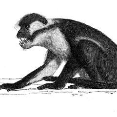 Macaque mangabey