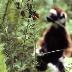 Propithecus verreauxi