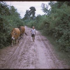 Ban Pha Khao : boy with cows