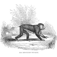 The Red-Faced Macaque