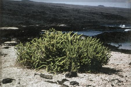 Galápagos Clubleaf (Nolana galagagensis)