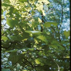 Grapevine foliage