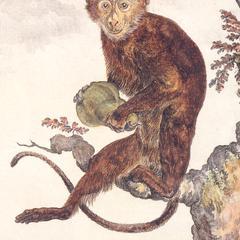 Seated Old World Monkey