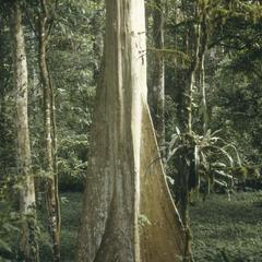Terminalia oblonga with buttresses at OTS field station, La Selva