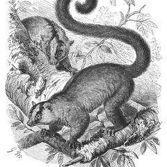 The Forked Mouse-Lemur (1/4 nat. size)