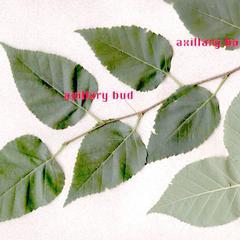 Auxillary buds of paper birch