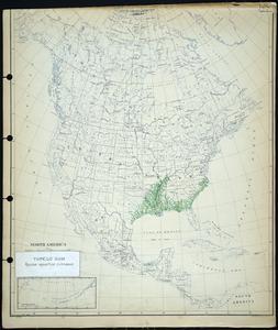 Nyssa aquatica Linnaeus - Tupelo gum