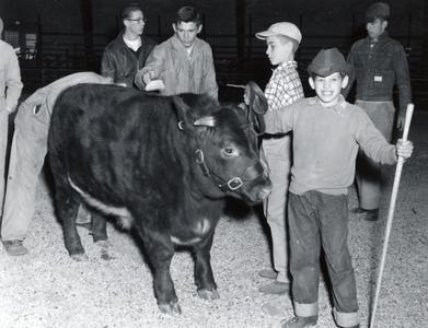 Showing a cow, 1956 Wisconsin Livestock Breeders Association Show