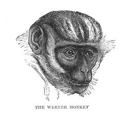 The Werner Monkey