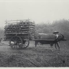 Coconuts to market, Laguna, 1926